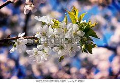 Flower Cherry Plant: stock fotografie (k okamžité úpravě) 1072441085 Cherry Plant, Flowers, Plants, Photography, Image, Fotografie, Floral, Photography Business, Photo Shoot