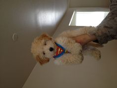 I would love another Bichon Poodle Puppy just like my little Chevy!