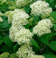 Hydrangea arborescens 'Annabelle' | Fine Gardening -- Under the holly in the back left section of the yard?