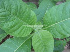 Thanks for the great review Karren M. ★★★★★! http://etsy.me/2jSDpJj #etsy #supplies #gardening #tobacco #goldenvirginia #seeds #ecig #growyourown #nicortanina #tobacum