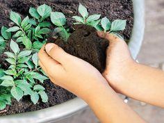 How to Grow Potatoes in Pots >> http://www.hgtvgardens.com/potatoes/how-to-grow-potatoes-in-pots?soc=pinterest