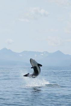 #Serrurier #Elancourt http://serrurierelancourt.lartisanpascher.com/ Young whale making a splash.