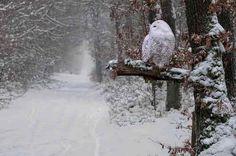 Snowy Owl, Quebec