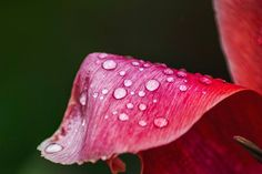 """""""Rain is grace; rain is the sky descending to the earth; without rain there would be no life.""""   #photography #canon #awesome #justgoshoot #austria #lukeslook #photographer #dslr  #flower #nature #naturephotography #macro #details #photographer #green #raindrops #afterrainphoto #details #red #macrophotography #vibrantcolors #colorful #awesomeness #ournaturedays #olderpicture #rain #instagood #instafollow #ff #pictureoftheday"""