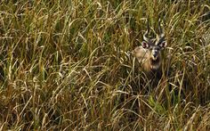 Sitatunga (Tragelaphus spekeii) - Zambia
