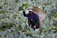 An ethnic Khasi farmer harvesting cabbages in a field on the outskirts of the city of Shillong in Meghalaya state. Fotojournalismus, Simplicity Is Beauty, Shillong, Harvest Season, Life Form, Eco Friendly, Around The Worlds, India, Cabbages