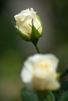 white roses by János Szarka on 500px