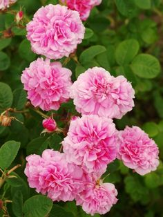 'Pink Leda' | Damask Shrub rose. Discovered by Unknown (before 1949)