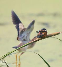 翠鸟 - Pinned by Mak Khalaf Animals animalsbirdsnatural by ChangCheng
