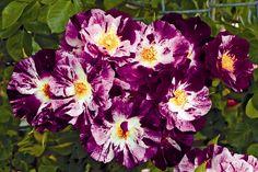 Rose 'Purple Splash' - Google Search