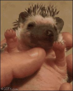 Hedgehog yawns are adorable. This may or may not pin correctly, as it is a gif...