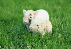 Anna & Charlotte enjoying the Sunshine. http://www.outlawminipigs.com/available-piglets.html