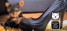 This is the smallest dog in the world! It sure is tiny!  http://www.dogvideooftheweek.com/videos/view/2657  #DVOTW
