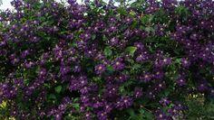 Kletterrosen und Clematis viticella im Rosengarten Loccum
