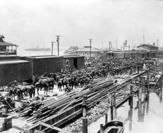 Loading horses onto railroad cars at Port Tampa during the Spanish-American war.