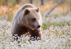 In Finland, you can find some of the world's last wilderness regions, where you can experience the untouched nature with its rare wild animals. Finland Trip, Northern Nights, White Tailed Eagle, Sense Of Sight, Summer Coats, Great Grey Owl, Night Forest, Wild Wolf, Animal Magic