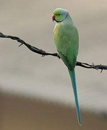 Verdelio, a rose-ringed parakeet