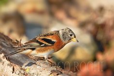 Brambling by Marco Roghi on 500px
