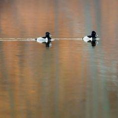 #ducks #ringneckedducks