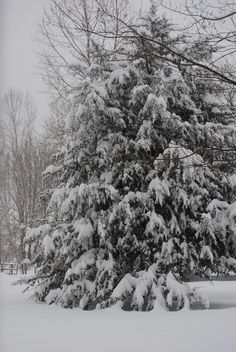 "Andrea Walters of Moorefield, West Virginia says ""Pine tree buried under 15""... I feel bad for the poor tree!"" #WHSVsnow"