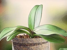How to Get Orchids to Bloom. Orchids are exotic plants that create beautiful blooms. The Phalaenopsis orchid, also known as the moth orchid, is the most popular variety, but there are many different species of orchid. Moth Orchid, Phalaenopsis Orchid, Orchid Plants, Orchid Care, Exotic Plants, All Plants, Garden Plants, House Plants, Flowering Plants
