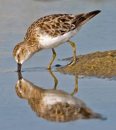 Least Sandpiper (Calidris minutilla) is the smallest shorebird. Their breeding habitat is the northern North American continent on tundra or in bogs. They migrate in flocks to the southern United States and northern South America.