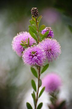 """Цветы мирты """"Мелалеука"""" просто восхитительны"""