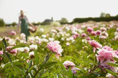 field of peonies