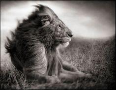 1stdibs   Nick Brandt - Lion Before Storm II - Sitting Profile, Masai Mara, 2006