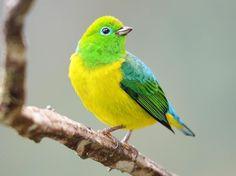 O gaturamo-bandeira é uma ave passeriforme da família fringillidae. Esta ave é conhecida por possuir as cores da bandeira brasileira, o que lhe valeu o apelido de bandeirinha. Também são conhecidas pelos nomes de bonito-do-campo, canário-assobio(SC), gaturamo-bandeira, gaturamo-bandeirinha, gaturamo-filó, gaturamo-verde e bonito-terezinha (RJ).