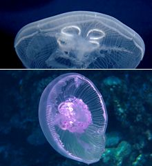 Aurelia aurita  - Mild stinger - The venom of Aurelia is harmless for humans and this jellyfish can be touched (in China it is a popular dish) even though, like all jellyfish it is very delicate and contacts can damage it.  - Habitat - Aurelia lives in all oceans of the northern hemisphere, where it can be very abundant.