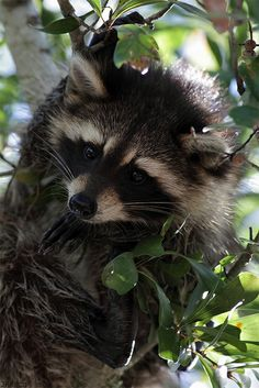 Louisiana Swamp Animals | raccoon cajun swamp new orleans louisiana 2012 1 13