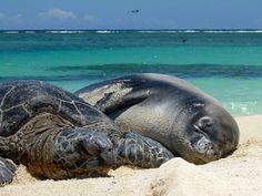 """A Hawaiian green sea turtle (Chelonia mydas) and Hawaiian monk seal (Monachus schauinslandi) rest on the beach together at Hawaiian Islands National Wildlife Refuge. """""""