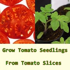 Grow Tomato Seedlings From Tomato Slices Homesteading  - The Homestead Survival .Com