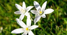 Star of Bethlehem is a stunning winter bulb belonging to the Lily family 😍 . Trauma, Bach Flowers, Chlorophytum, Edible Wild Plants, Star Of Bethlehem, Big And Small, Elegant Flowers, Medicinal Herbs, Flower Power