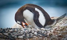 A penguin tends to its baby on Port Lockroy, Antarctica. The adorable birds are a major feature of the trip.