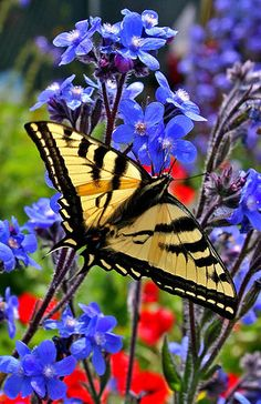 Yellow and black butterfly with blue and red flowers ~~ Flutterby ~~