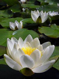 Bloemennamen | witte waterlelie