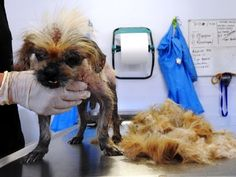 They Discover Something Much Worse Than Ticks Under The Fur Of This Stray… OMG