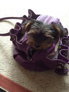 Yorkshire terrier  my handbag doggie