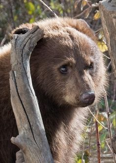 What kind of bear is best? This is the home to all eight species of bears - American Black Bears, Brown Bears, Polar Bears, Asiatic Black (Moon). Animals Of The World, Animals And Pets, Baby Animals, Cute Animals, Animals Images, Bear Pictures, Animal Pictures, American Black Bear, Wild Creatures