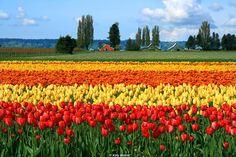 Skagit Valley Tulip Festival - Washington