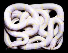 Guido Mocafico likes snakes