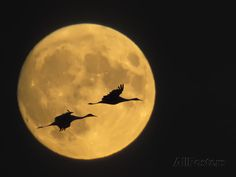 Sandhill Cranes Flying in Front of Full Moon, Bosque Del Apache National Wildlife Reserve. by Ellen Anon. Viewing the Sandhill Cranes at Sunrise at the Rowe Sanctuary is on my Bucket List. Color Photography, Animal Photography, Wildlife Photography, Landscape Photography, Shoot The Moon, Land Of Enchantment, Moon Magic, Stars And Moon, Full Moon
