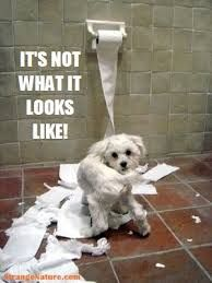 Maltese funny picture What a mess! Is your Maltese guilty of doing this? My Maltese likes to play with the toilet paper roll. but only after the paper is finished. What is that funny thing that your Maltese Funny Animal Quotes, Dog Quotes, Funny Animal Pictures, Animal Memes, Dog Pictures, Funny Animals, Cute Animals, Funniest Animals, Animals Dog