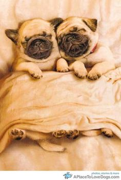Pug snuggling. They look so happy!