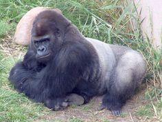 Western Lowland Gorilla « Utah's Hogle Zoo