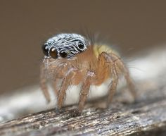 These jumping spiders from the land down under really know how to flaunt it Jumping Spider, Insects, Spiders, Animals, Google Search, Nature, Naturaleza, Animales, Animaux