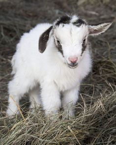 triplet goat