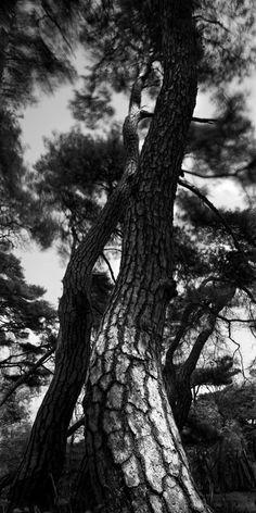 배병우(Bae Bien-U) / 소나무(Sonamu, Pine tree) / 1993